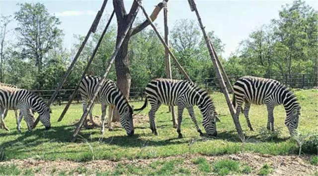 安妮花济宁瑞德尔:整个野生动物园搬入纯正外教英语课堂!